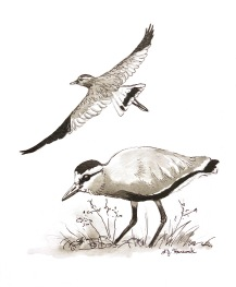 Sociable Lapwings